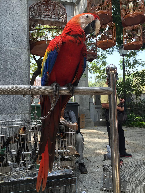 Červeno, modro, žlto sfarbená ara sediaca na kovovej tyčke na pozadí so zavesenými drevenými klietkami s ďalšimi vtákmi