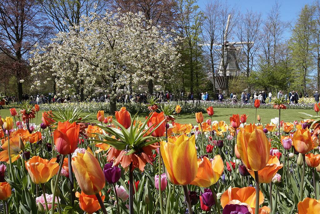 Pestrofarebne tulipany z kvetinovej zahrady Keukenhof s alejou stromov a vodnym mlynom v pozadi